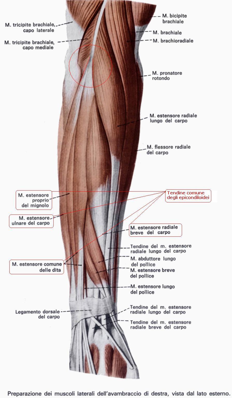 Anatomia avambraccio